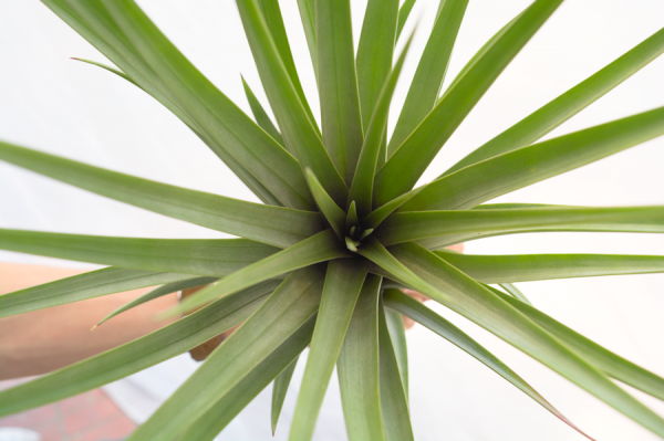 Large Air Plant Tillandsia Jalisco Monticola Hybrid Air Plant For Sale