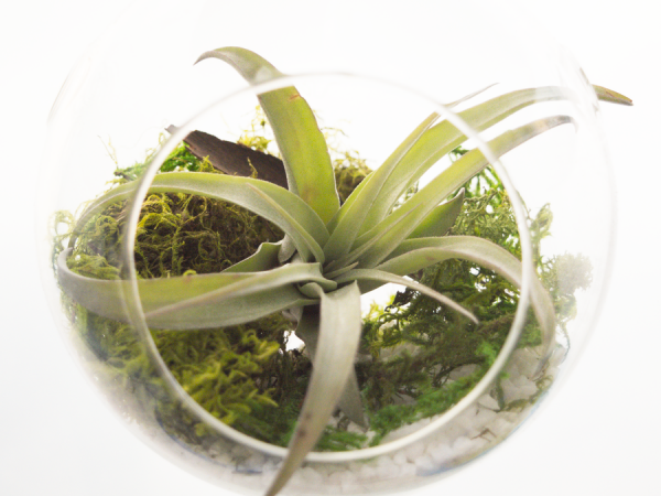 tillandsia_capitata_peach_small_air_plant_1