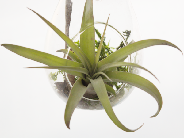 tillandsia_capitata_peach_small_air_plant_6
