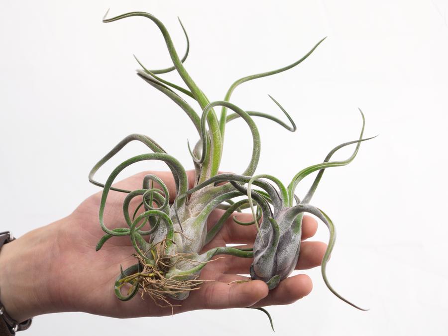 Tillandsia caput-medusae-Purple Form Single Plants 5-7in