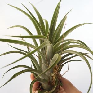 tillandsia_chiapensis_velutina_large_green_hybrid_air_plant_rare_2