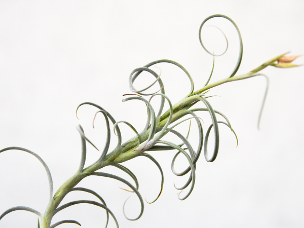 tillandsia_crocata_giant_form_air_plant_1