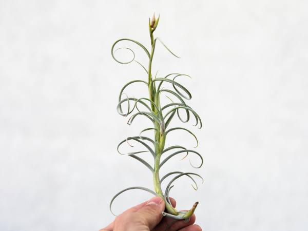 tillandsia_crocata_giant_form_air_plant_4