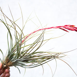 tillandsia_exserta_fasciculata_1
