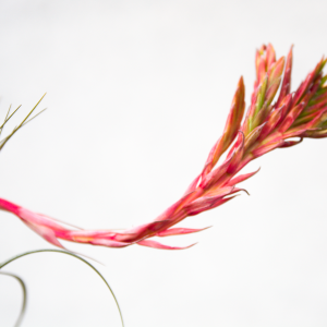 tillandsia_exserta_fasciculata_2