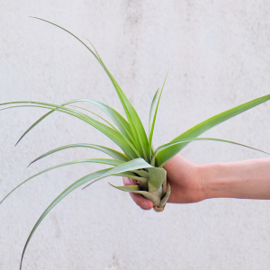 tillandsia_flabellata_large_green_air_plant_1