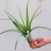 tillandsia_flabellata_large_green_air_plant_6