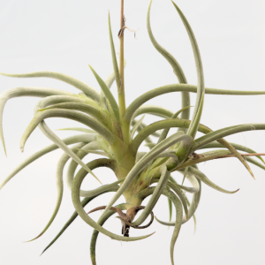 tillandsia_myosura2