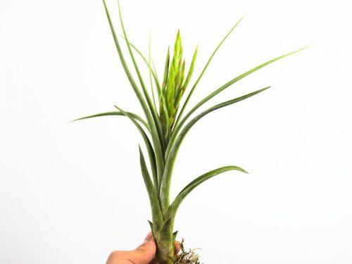 tillandsia_paucifolia_x_streptophylla_2