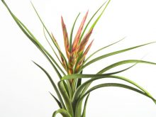 tillandsia_paucifolia_x_streptophylla_3