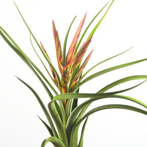 tillandsia_paucifolia_x_streptophylla_3