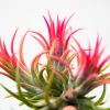 tillandsia_peanut_fuego_clump_air_plant_1
