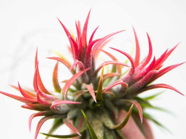 tillandsia_peanut_fuego_clump_air_plant_2