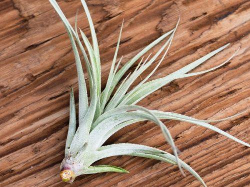 tillandsia recurvifolia x gardneri