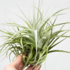 tillandsia_recurvifolia_x_gardneri_air_plant_for_sale_1
