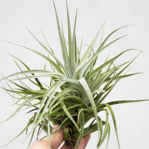 tillandsia_recurvifolia_x_gardneri_air_plant_for_sale_2