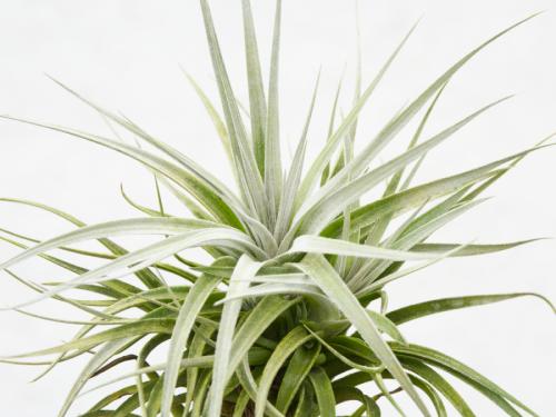 tillandsia_recurvifolia_x_gardneri_air_plant_for_sale_4