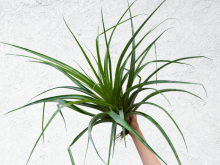 "LARGE Air Plant Tillandsia Secunda Huge Indoor Plants Tropical Decor ~36-24"" Sale"