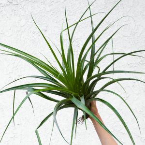 tillandsia_secunda_giant_air_plant_2