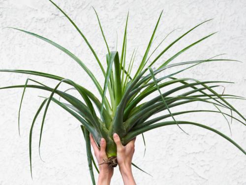 "LARGE Air Plant Tillandsia Secunda Huge Indoor Plants Tropical Decor ~36-24"" Sale"