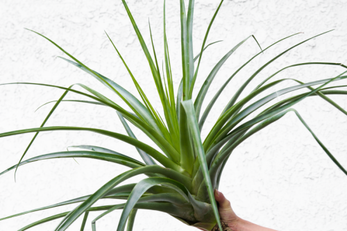 "Tillandsia Secunda LARGE Air Plants Airplant Airplants Indoor Plants Tropical Decor ~36-24"" Sale Air Plant Specimen Secunda"