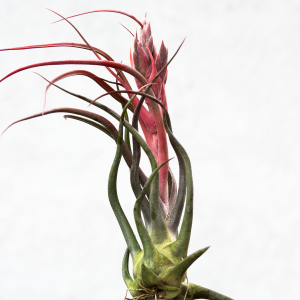 tillandsia_seleriana_bulbosa_rare_air_plant_5