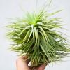 tillandsia_stricta_stiff_gray_giant_large_green_air_plant_prolific_1
