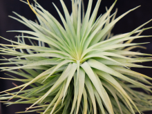 tillandsia_stricta_stiff_gray_giant_large_green_air_plant_prolific_4