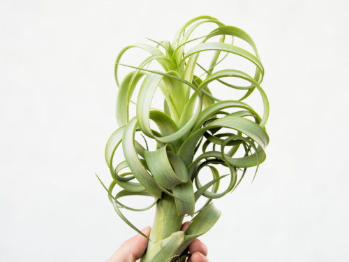 tillandsia_twisted_tim_3