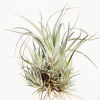 tillandsia_utriculata_v_prengelii_pringlei_small_white_air_plant_1
