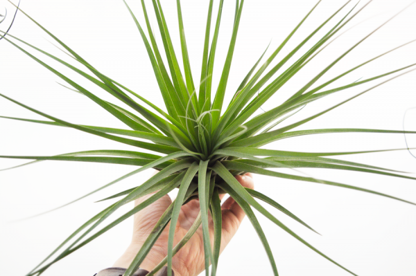 tillandsia_vicentina_large_gray_air_plant_1