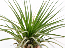 tillandsia_vicentina_large_gray_air_plant_2