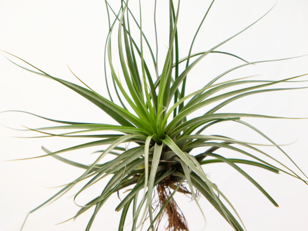 tillandsia_vicentina_large_gray_air_plant_5