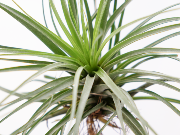 tillandsia_vicentina_large_gray_air_plant_3