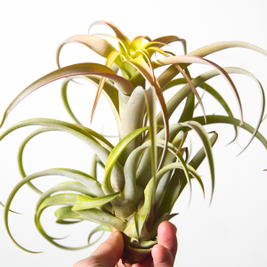 Tillandsia Xerographica X Brachycaulos