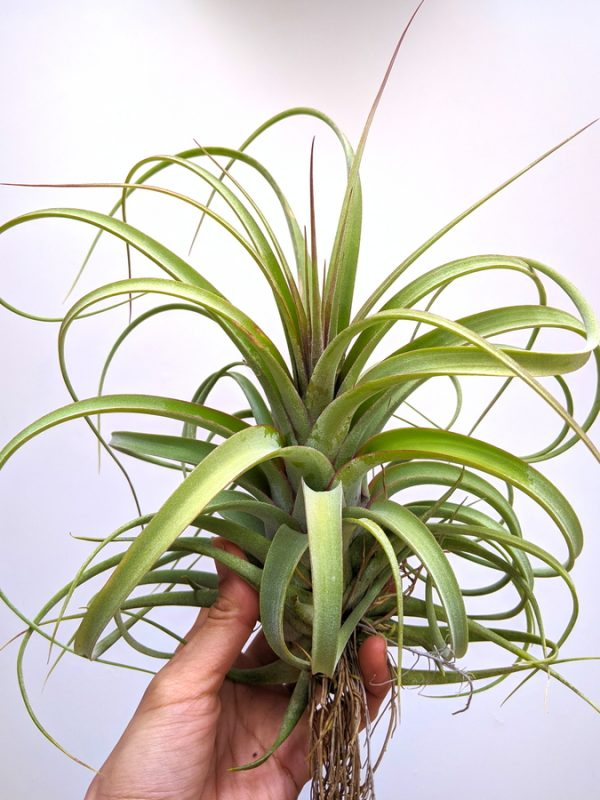 Tillandsia Concolor X Streptophylla LARGE Air Plant Greenhouse Sale Wholesale