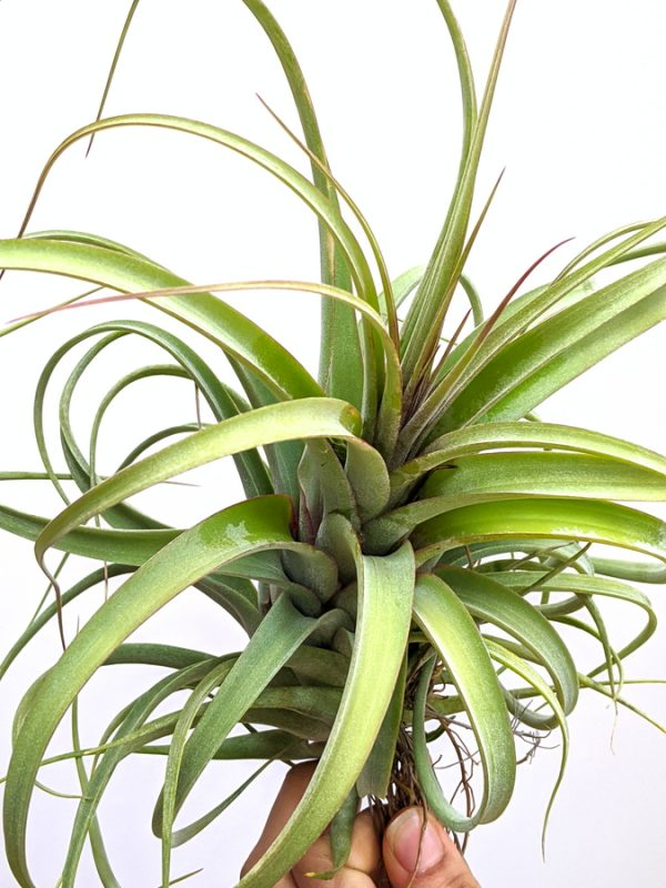 Curly Hanging Plant Tillandsia Concolor X Streptophylla LARGE Air Plant