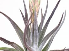 Tillandsia Comarapaensis Purple Air Plant Colorful Budding Airplant Sale_Wholesale Air Plants Online At Air Plant Greenhouse