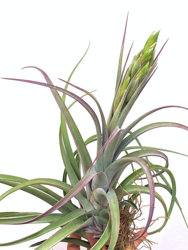 Tillandsia Concolor Streptophylla Curly Plants Airplant Sale_Air Plant Greenhouse