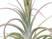 Large Air Plant Tillandsia Concolor Streptophylla Curly Air Plant