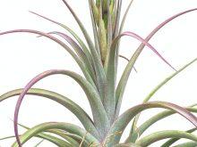 Large Air Plant Tillandsia Concolor Streptophylla Curly Air Plant