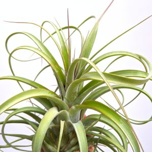 Large Air Plant Tillandsia Concolor X Streptophylla Curly Air Plant Sale