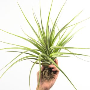 tillandsia_concolor_fasciculata_1