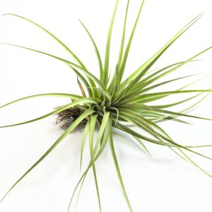 tillandsia_concolor_fasciculata_2