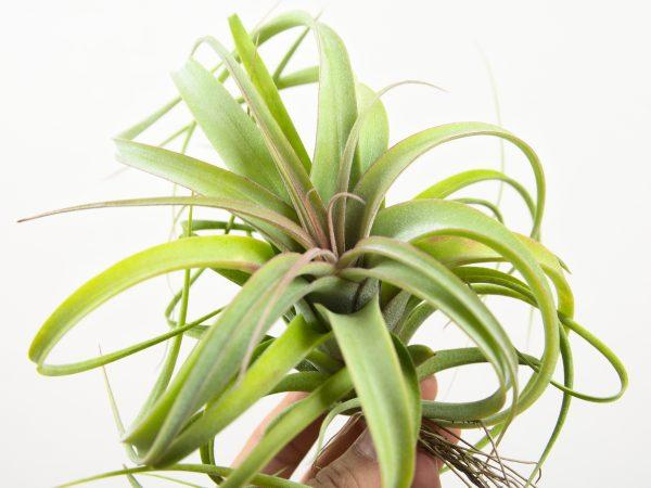 Tillandsia Concolor X Streptophylla
