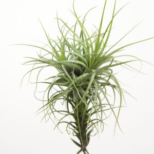 Tillandsia Heteromorpha