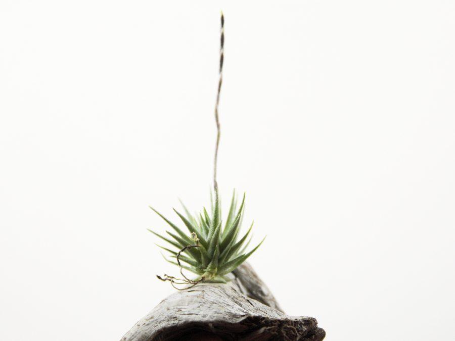 Tillandsia Loliacea Miniature