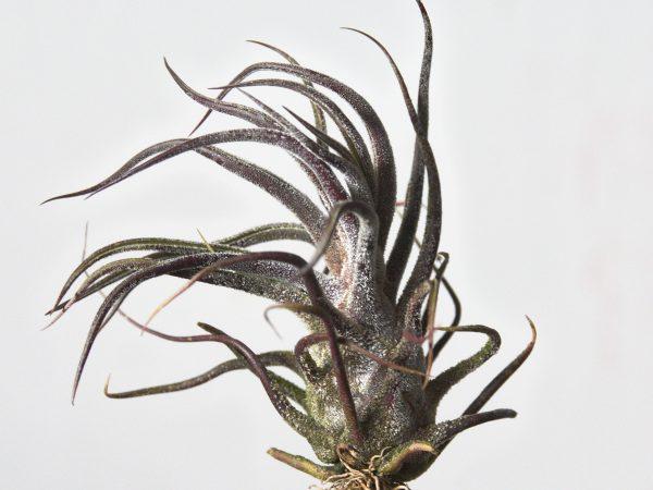 Tillandsia Pruinosa