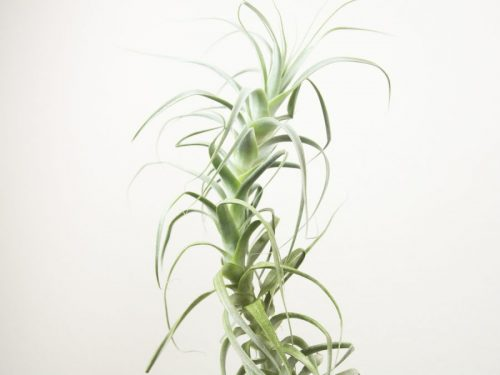Tillandsia Straminea Tall White