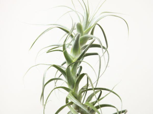 Tillandsia Straminea Tall White